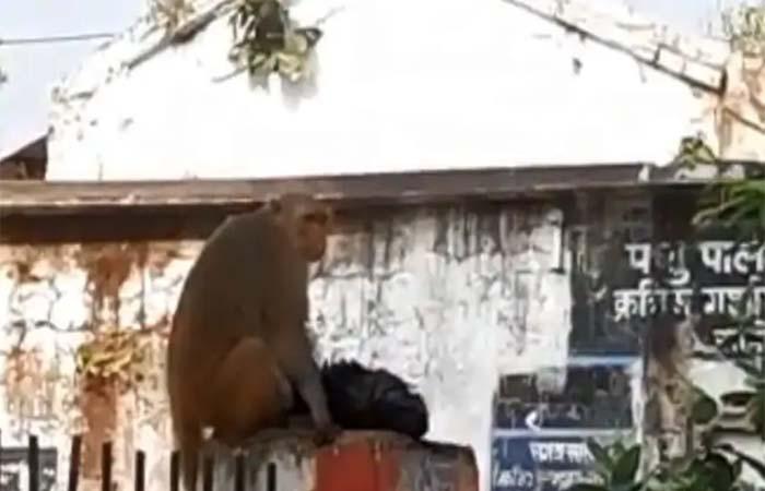 Sehore Monkey Accident : करंट से झुलसे बच्चे को लेकर अस्पताल लेकर पहुंची बंदरिया