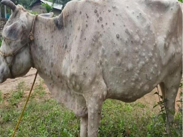 भोपाल :   गायों के अंतिम संस्कार के लिए बनाया जाएंगा देश का पहला मुक्तिधाम